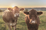 Germany  Bavaria  AllgŠu  Nature  Cows  Sundown
