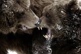 Brown Bears  Ursus Arctos  Fight  Detail Series  Animals