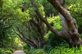 South Africa  'Kirstenbosch'  Avenue of Camphorwood