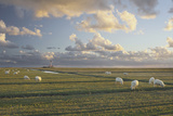 Sheep  Lighthouse of Westerhever (Municipality)  Schleswig-Holstein  Germany
