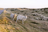 Sheep in the Wayside  List  Island Sylt  Schleswig-Holstein  Germany