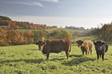 Cows, Autumn, Lindenfels (Town), Odenwald (Low Mountain Range), Hesse, Germany Papier Photo par Raimund Linke
