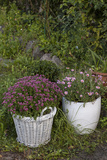 Asters in the Pot