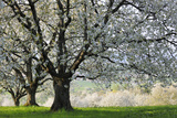 Meadow  Cherry Trees  Blossom