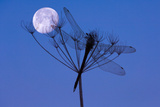 Dragonfly  Plant  Silhouette  Moon