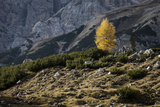 Europe  Italy  South Tyrol  the Dolomites  Autumnal Colored Larch