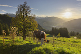 Evening Mood at the KitzbŸheler Horn  Cows  Tyrol  Austria