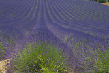Europe  South of France  Provence  Lavender Field  Period of Bloom