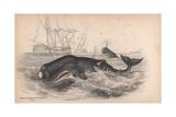 Spermaceti Whale