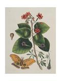 Caryophylus Spurius Inodorus and the Great Moth