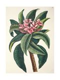 Plumeria Flore Roseo (Red Frangipanni)