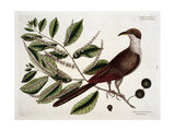 The Carolina Cuckoo on a Chinkapin Branch