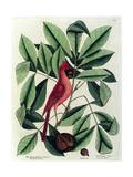 The Red Bird or Northern Cardinal