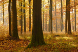 Sunny Beech Forest in Autumn  Harz  Near Allrode  Saxony-Anhalt  Germany