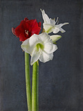 Amaryllis  Flowers  Blossoms  Still Life  Red  White  Black