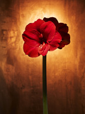 Amaryllis  Flower  Blossom  Still Life  Red