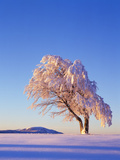 Copper Beech  Fagus Sylvatica  Snow-Covered  Morning Light  Leafless