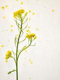 White Mustard  Mustard  Sinapis Alba  Stalk  Blossoms  Yellow