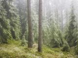 Iced Up Forest in the Wechsel Region  Lower Austria  Austria