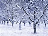 Cherry Trees  Winter  Snow  Detail  Bald  Leafless  Germany  Winter Scenery  Frost  Season
