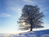 Copper Beech  Fagus Sylvatica  Snow-Covered  Back Light  Leafless