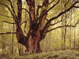 Tree, Harewood, Old, Huge Papier Photo par Thonig
