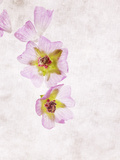 Musk Mallow  Mallow  Malva Moschata  Blossoms  Rose  Yellow