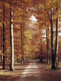 Beech Forest  Way  Autumn