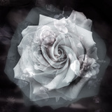 Composing of a White Rose Layered with Blossoms Infront of Black Background