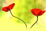 Poppy Friends