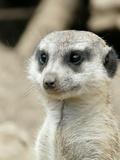 Meerkat Mammal Africa Animal