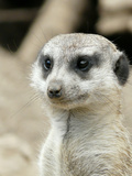 Meerkat Mammal Africa Animal Reproduction d'art par Wonderful Dream