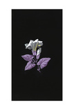 Single White Morning Glory Flower with Purple Leaves on Black