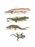 Lizard Scientific Illustrations