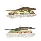 Alligator Scientific Illustrations