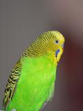 Green Budgie Bird Parrot