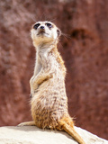 African Meerkat Animal Reproduction d'art par Wonderful Dream
