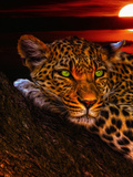 Gepard Leopard Sunset Animal Cat
