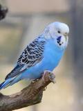 Blue Budgie Bird Parrot