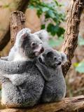 Australian Koala Bear Animal Reproduction d'art par Wonderful Dream