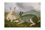 Arctic Hare  1841