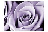 Lavender Rose Reproduction d'art
