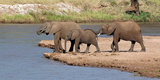 African Elephants (Loxodonta Africana) at River  Samburu National Reserve  Kenya