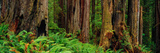 Trees and Plants in a Forest  Prairie Creek Redwoods State Park  California  USA