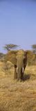 Elephant in a Field  Samburu National Reserve  Kenya