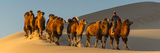 Camel Caravan in a Desert  Gobi Desert  Independent Mongolia