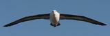 Black-Browed Albatross (Thalassarche Melanophris)  Falkland Islands