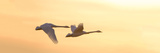 Trumpeter Swans in Flight at Sunset  Riverlands Migratory Bird Sanctuary  West Alton