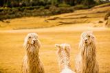 Three Llamas  Sacsayhuaman Ruins  Cusco  Peru  South America