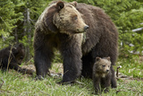 Grizzly Bear (Ursus Arctos Horribilis) Sow and Two Cubs of the Year  Yellowstone National Park